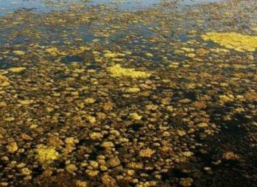 1024px Patog 03 Algen in der Lagune e1399367461802