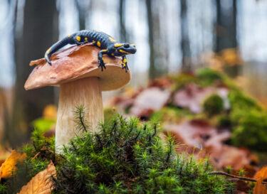 Adobe Stock biodiversiteit salamander op paddestoel