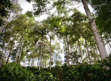 Agroforestry and coffee Colombia bomen tussen koffieplanten