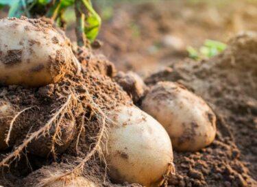 Adobestock aardappel grond bodem