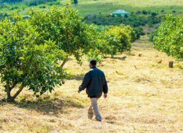 Adobestock avocado tanzania landbouw co2 compenseren carbon credits