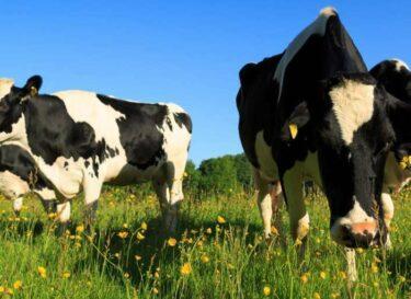 Adobestock koeien biodiversiteit