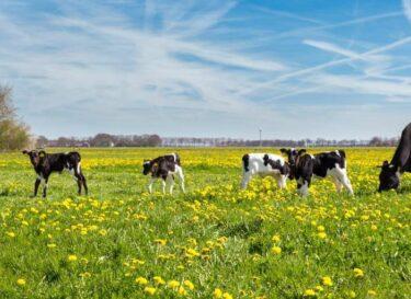 Adobestock koeien in geel veld