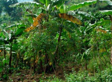 Duurzame bananenteelt