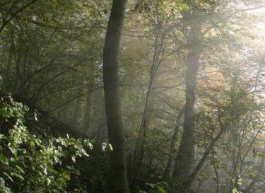 Fog forrest frickberg