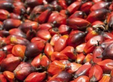 Palmolievruchten e1384254201485