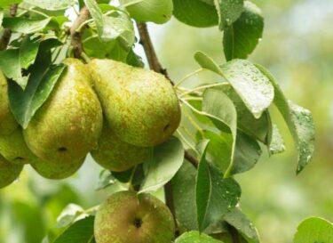 Peer boom biomassa fruit