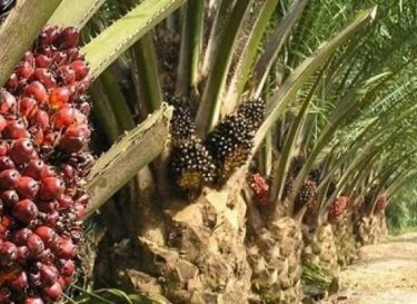 Rameshoilmills palmolie e1352991598656