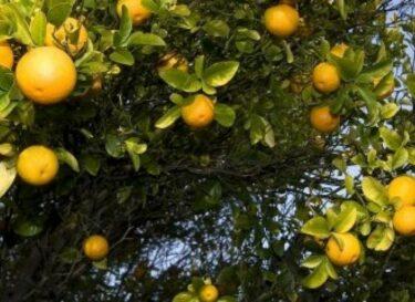 Sinaasappelboom e1425467011210