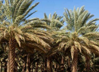 Soebi arabie bomen palm adobe stock