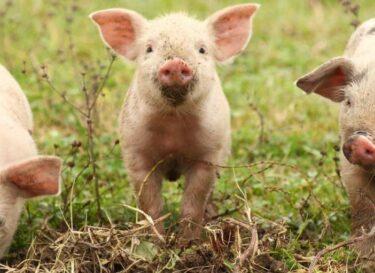 Varkens dierenwelzijn