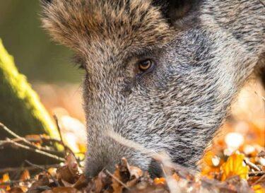Wild zwijn varken bos scharrel adobe stock change inc